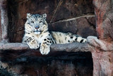 Lone snow leopard amidst a rocky outcropping in the cool light of winter