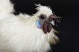Headshot of white rooster