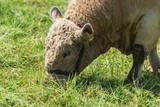 Wolliges Rind frisst Gras - 244454850