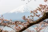Cherry blossom with Mount fuji at Lake kawaguchiko background. - 244468294
