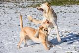 Zwei Hunde spielen im Schnee - 244479054