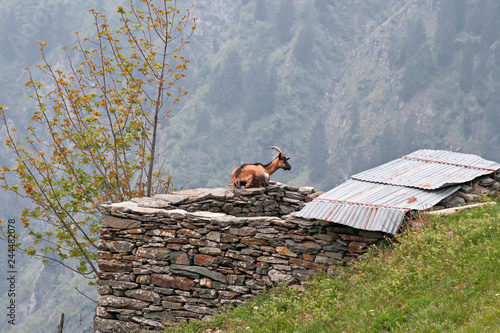 A goat rests lying on the ruins of a mountain hut