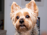 portrait Yorkshire Terrier dog look camera at home - 244485413