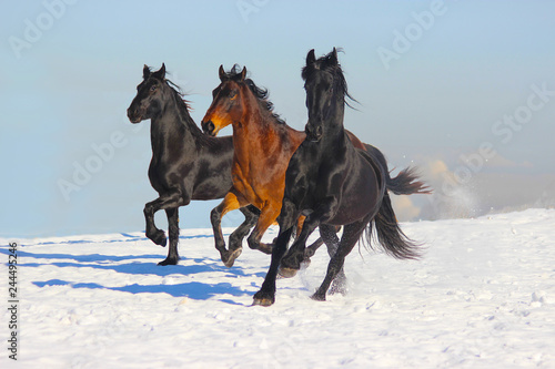 three horses running in the snow, Frisian and bay horses © Olena