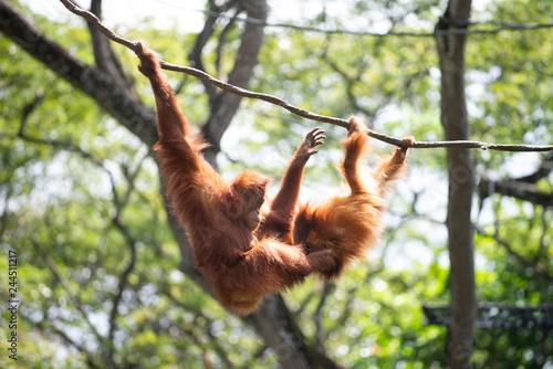 Poster A pair of orang utang at play on vine