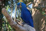 Blue parrot on a tree, Ubud