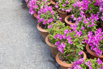 Pots of Bougainvilleas flower