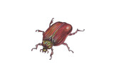 Brown beetle isolated on white background.