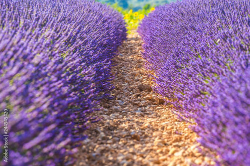 Wall mural Lavender fields near Valensole, Provence, France