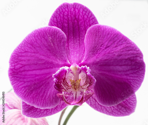 Purple orchid with bud on a white background - 244546410