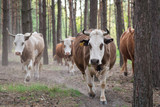 Cows going home through the pine forest