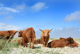 Kühe auf der Insel Fanö, Dänemark