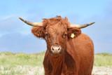Kuh auf der Insel Fanö, Dänemark - 244554287