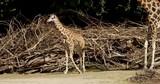 baby giraffe - 244560885