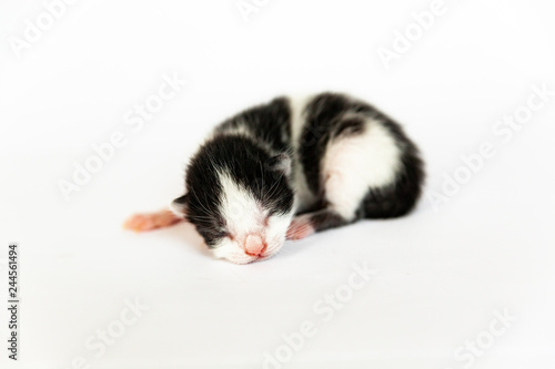 fototapeta na ścianę Newborn black and white kitten