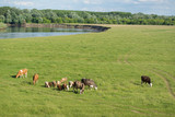 Cows and sheep grazing in the field near the river