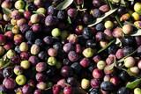 aceitunas cosechadas para aceite - 244574098