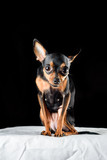 Portrait of a small domestic dog toy terrier in a photo studio on a dark background. - 244577465