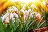 Schneeglöckchen in der Sonne - Snowdrops in the sun - 244581650