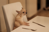 Funny mini chihuahua dog sitting on white chair at the table with fork and knife, waiting for food