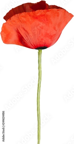 Red poppy flower - isolated - 244624486