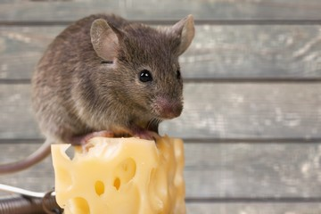 Gray mouse animal and cheese on background