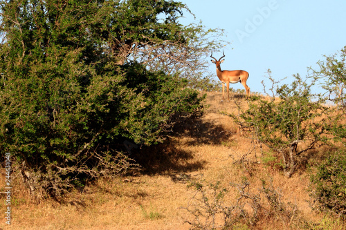 Poster Impala watching from hill