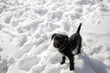 Miniature Schnauzer puppy playing in the snow