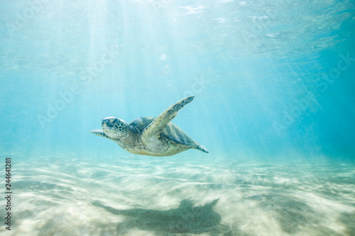 Sea Turtle Swimming in Clear Tropical Water Over Sand and Thru Sun Rays
