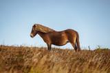Wild Exmoor Ponies, seen on Porlock Hill in Somerset, England, UK - 244674084