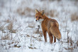 Leinwandbild Motiv Red fox, vulpes vulpes, on snow in winter. Wild predator in cold weather. Wildlife scenery from nautre.