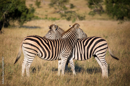 Two zebras, South Africa - 244697457