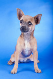 Studio shot of an brown Chihuahua dog