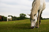 Fototapeta Konie - White horse in the field © marysckin
