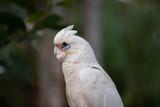 little corella on the rock Australian bird