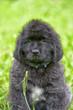 little cute newfoundland puppy
