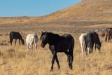 Fototapeta Konie - Wild Horses in the Utah Desert © natureguy