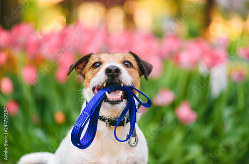 fototapeta na ścianę Dog ready for a walk carrying leash in mouth at nice spring morning