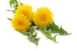 Bunch of yellow dandelions.