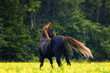 Bay arabian horse stands in the middle of summer field with the back. Horizontal, back view.
