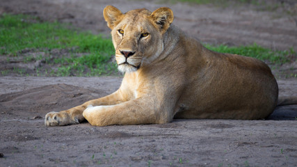 Lion female resting