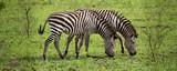 Fototapeta Fototapeta z zebrą - Two zebras grazing in the wild © Andrea Capranico