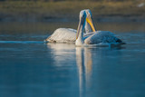 Dalmatian pelican swimming in lake water and catching fishes at Keoladeo National Park, India