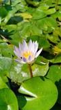 Lotus in pool volume 8885565