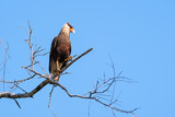 Southern Caracara, Caracara Plancus, perching on a branch in the forest, Mato Grosso, Pantanal, Brazil - 244910226
