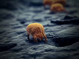 3d rendered illustration of a house dust mite - 244913666