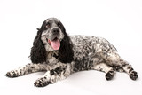 Fototapeta Psy - A mature springer spaniel photo shoot isolated on white background © Life in Pixels
