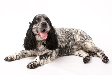 A mature springer spaniel photo shoot isolated on white background