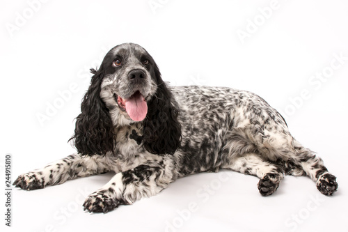 A mature springer spaniel photo shoot isolated on white background - 244915810