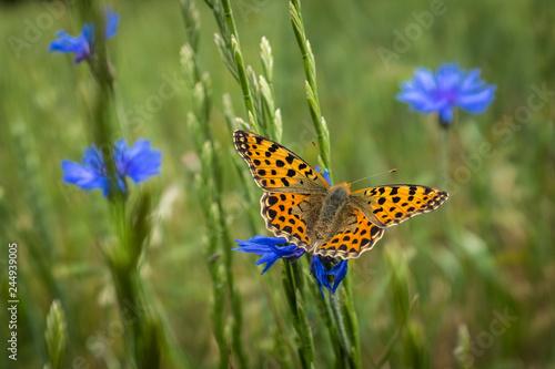 canvas print picture Papillon sur un bleuet